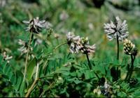 Image of Astragalus norvegicus