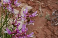Image of Astragalus saurinus