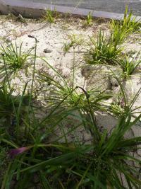 Image of Atamosco rosea
