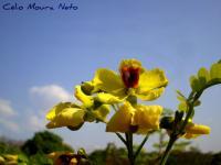 Image of Caesalpinia echinata