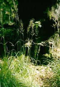 Image of Calamagrostis arundinacea