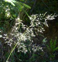 Image of Calamagrostis bolanderi