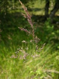 Image of Calamagrostis canescens