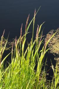 Calamagrostis canescens image