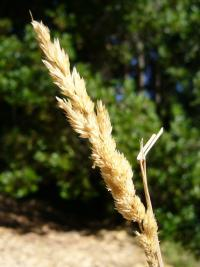 Image of Calamagrostis fasciculata