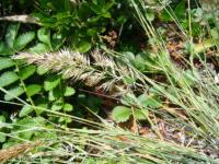 Image of Calamagrostis foliosa