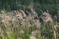 Image of Calamagrostis varia