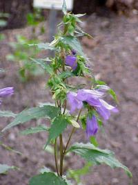 Image of Campanula bononiensis
