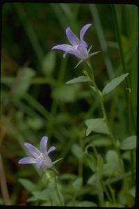 Image of Campanula californica