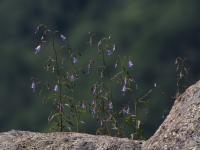 Image of Campanula flexuosa