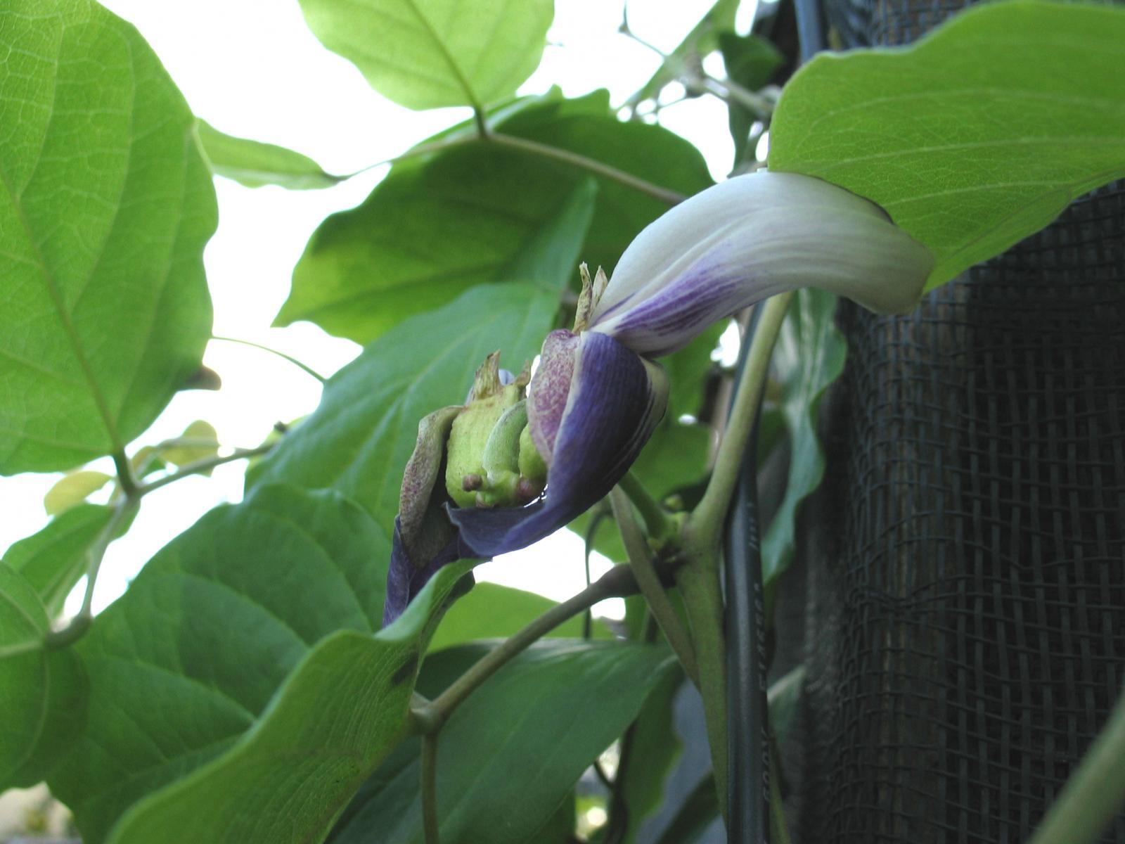 Canavalia napaliensis image