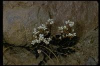 Image of Cardamine bellidifolia