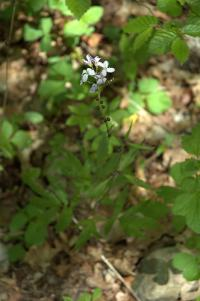 Image of Cardamine bulbifera