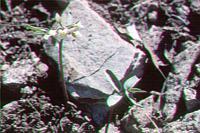 Image of Cardamine nuttallii