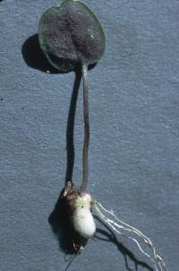 Image of Cardamine pachystigma