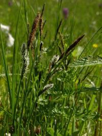 Carex acutiformis image