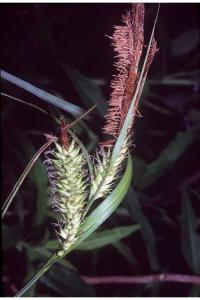Image of Carex hyalinolepis