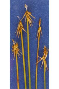 Image of Carex microglochin