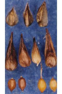 Image of Carex neurophora