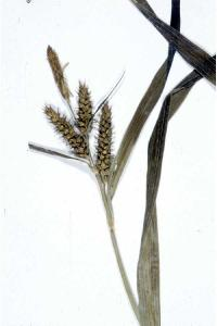 Image of Carex scabrata