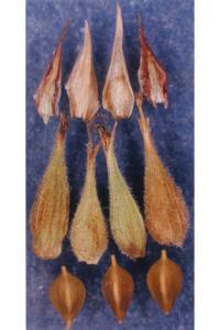Carex sheldonii image