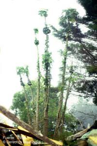 Image of Carica pubescens