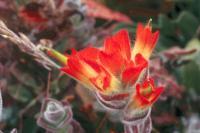 Castilleja mendocinensis image