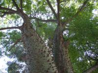Image of Ceiba insignis