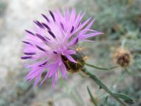 Image of Centaurea aspera