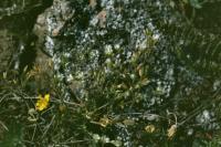 Cerastium glutinosum image