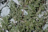 Image of Euphorbia humistrata