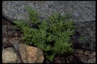 Image of Cheilanthes siliquosa