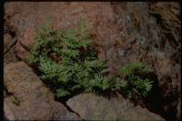 Cheilanthes siliquosa image
