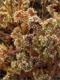 Image of Chorizanthe villosa