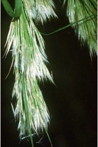 Image of Cinna glomerata