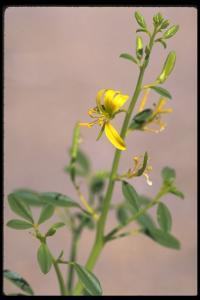 Image of Carsonia sparsifolia