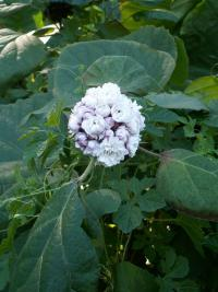 Image of Clerodendrum chinense