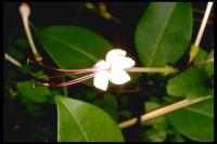 Image of Clerodendrum inerme