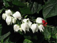 Image of Clerodendrum thompsoniae