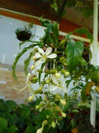 Image of Clerodendrum wallichii