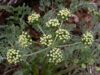 Cogswellia macrocarpa image