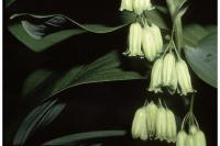 Image of Convallaria biflora