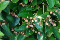 Image of Cotoneaster lucidus