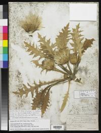 Image of Cirsium drummondii