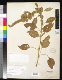 Image of Amaranthus hypochondriacus