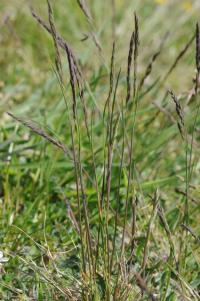 Image of Festuca trachyphylla
