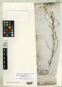 Sairocarpus kingii image