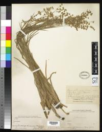Image of Juncus tracyi