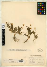 Image of Viola vallicola