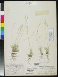 Image of Muhlenbergia filiculmis